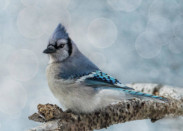Blue Jay Perch Poster
