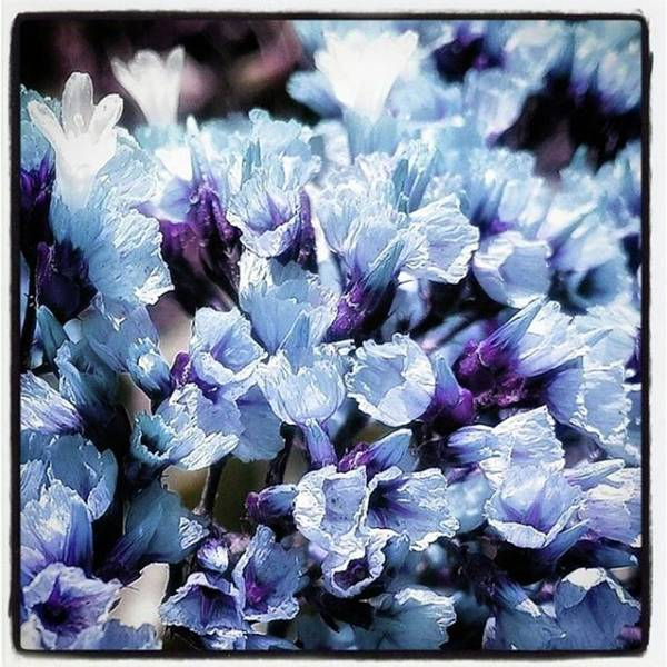 Poster featuring the photograph Blue Melancholia. #flowerart by Mr Photojimsf