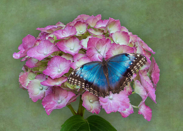 Blue Morpho Butterfly On Pink Hydrangea Poster