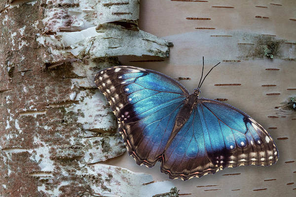 Blue Morpho Butterfly On White Birch Bark Poster
