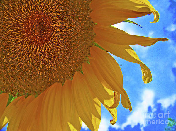 Blue Sky Sunflower Poster