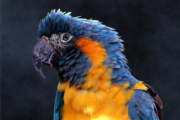 Blue-throated Macaw Profile Poster