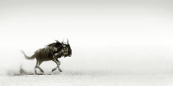 Blue Wildebeest In Desert Poster