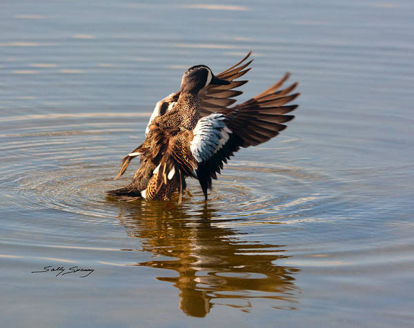 Blue Winged Teal 2 Poster