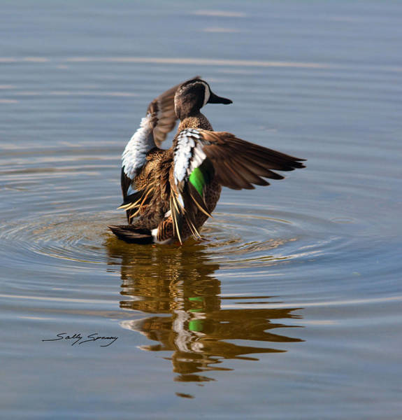 Blue Winged Teal 4 Poster
