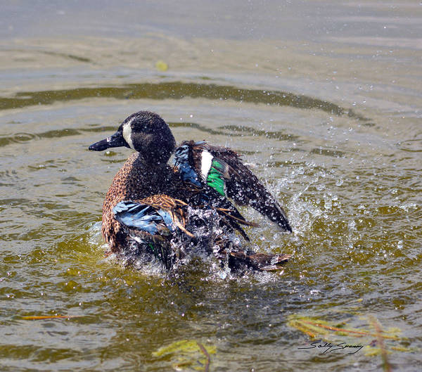 Blue Winged Teal 5 Poster