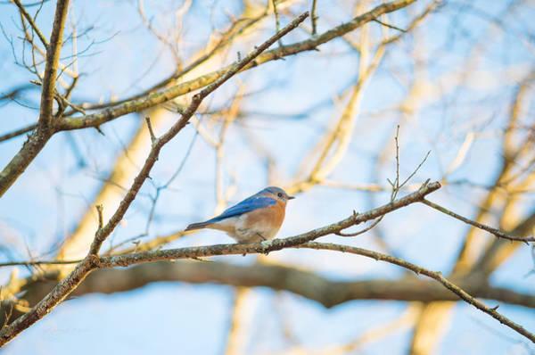 Bluebird In Tree Poster