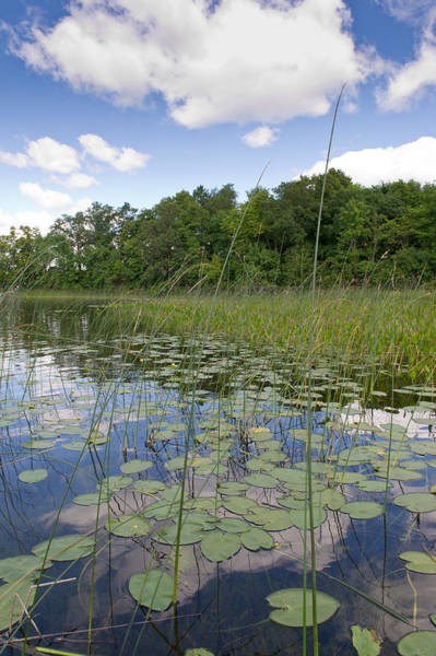 Borden Lake Lily Pads Poster