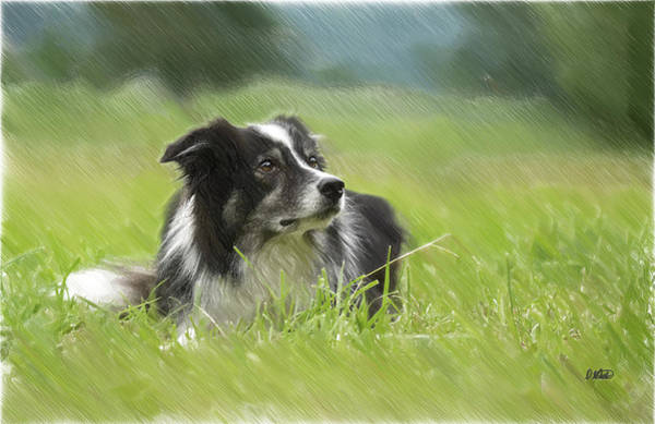 Border Collie - Dwp2189332 Poster