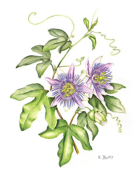 Botanical Illustration Passion Flower Poster