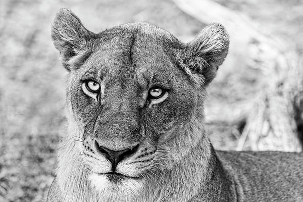 Botswana  Lioness In Black And White Poster