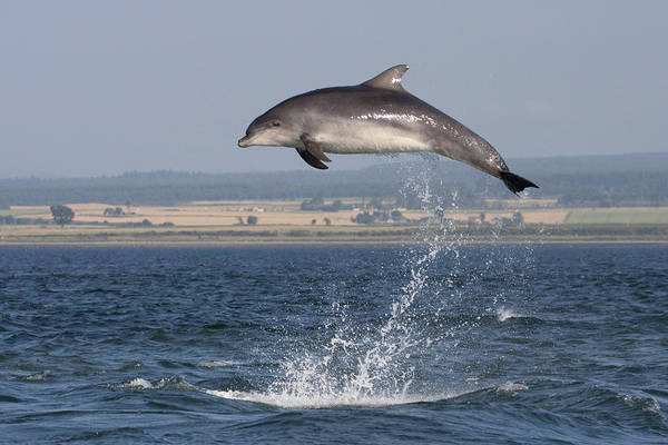 High Jump - Bottlenose Dolphin  - Scotland #42 Poster
