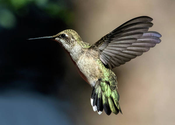 Broad-tailed Hummingbird Female Poster