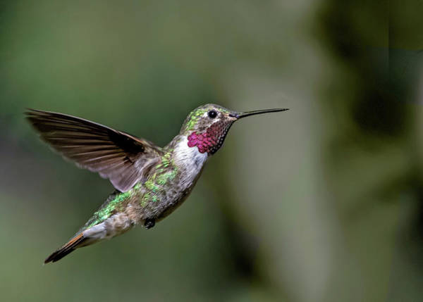Broad-tailed Hummingbird Male Poster
