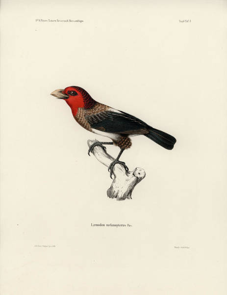 Poster featuring the drawing Brown-breasted Barbet, Pogonornis Melanopterus by Breck Bartholomew