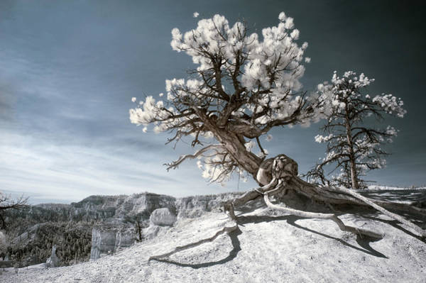Bryce Canyon Infrared Tree Poster