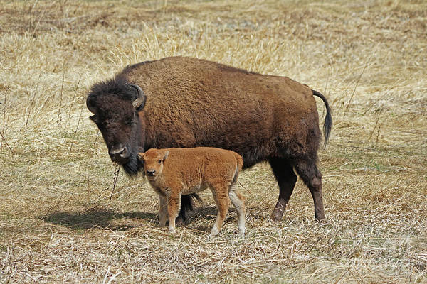 Buffalo With Newborn Calf Poster
