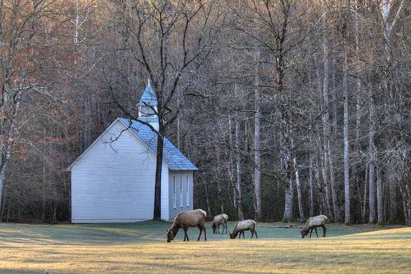 Bull Elk Attending Palmer Chapel  In The Great Smoky Mountains National Park Poster
