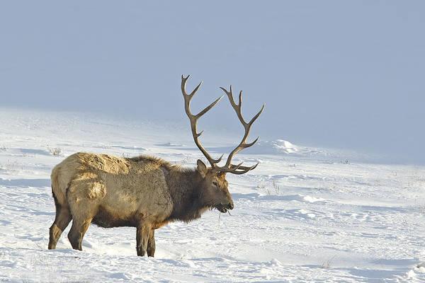 Bull Elk In Snow Poster