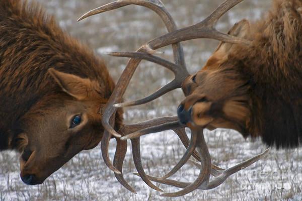 Bull Elk In The Rut-signed Poster