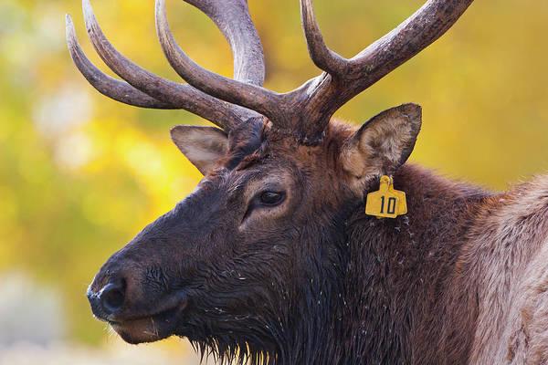 Bull Elk Number 10 Poster