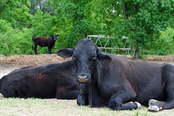 Bull Relaxing Poster