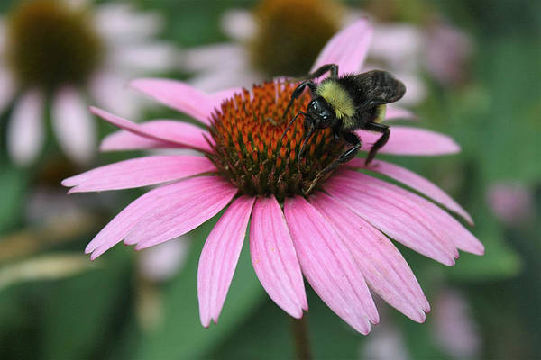 Bumble Bee On Pink Coneflower Poster