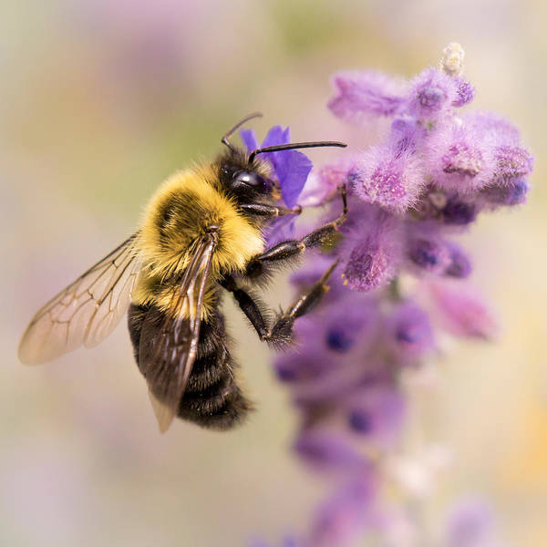 Bumble Bee On Russian Sage Poster