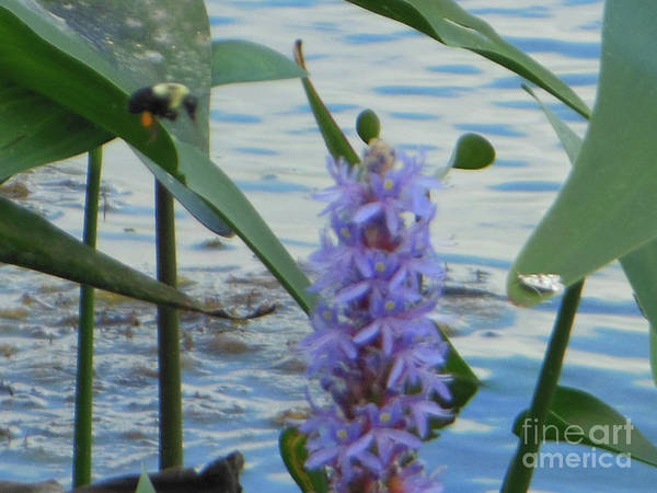 Bumblebee Pickerelweed Moth Poster
