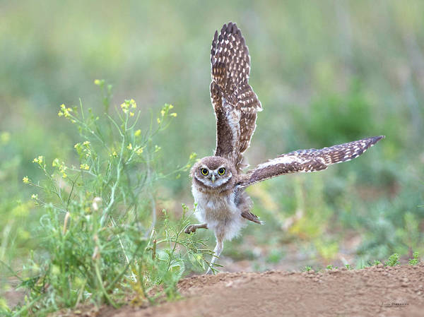Burrowing Owl Spies Grasshopper Poster