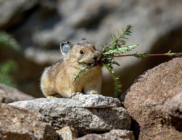 Busy As A Pika Poster