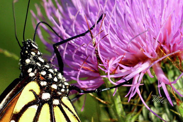 Butterfly On Bull Thistle Poster