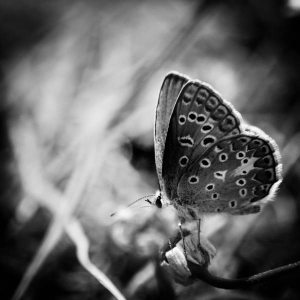 Poster featuring the photograph Butterfly In Black And White by Mirko Chessari