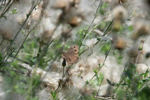 Butterfly In Puffy Seed Heads Poster