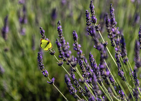 Butterfly N Lavender Poster