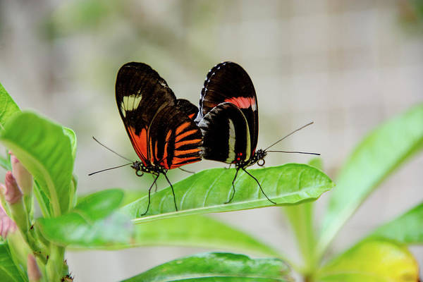 Butterfly Pair Poster