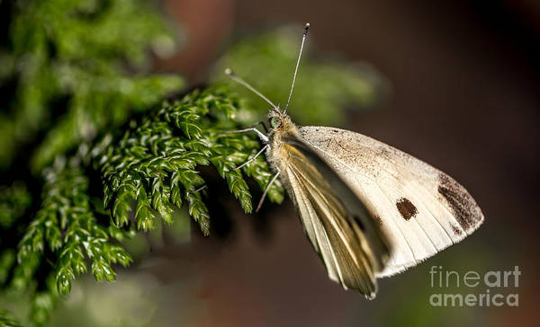Cabbage Butterfly On Evergreen Bush Poster