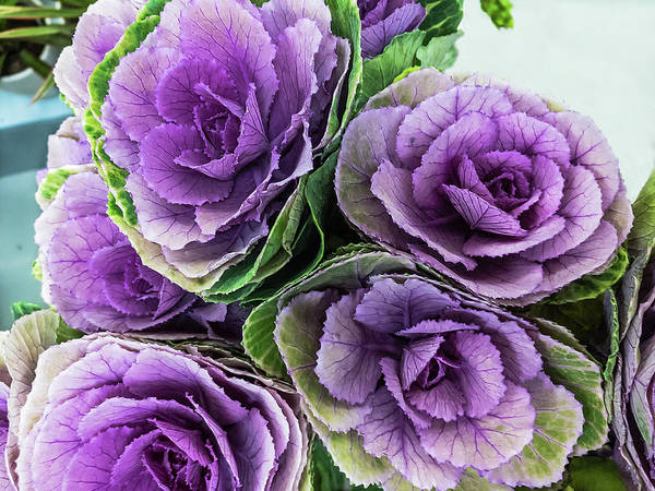 Cabbage Flower Poster