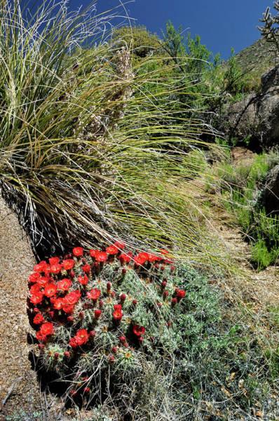 Crimson Barrel Cactus Poster