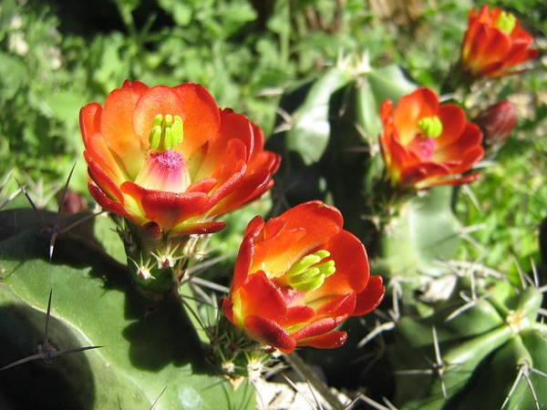 Cactus Blooms 2 Poster