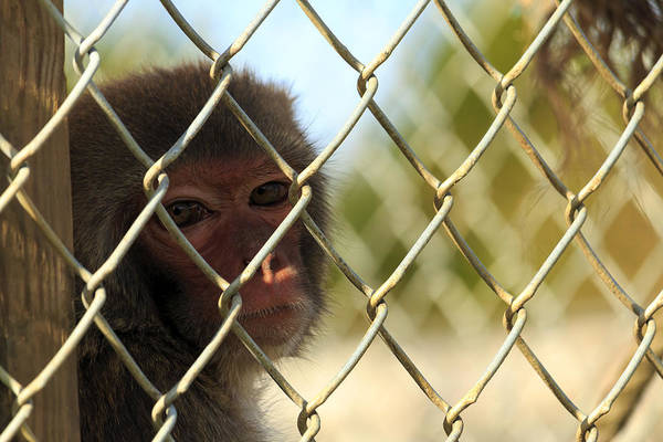 Caged Monkey Poster