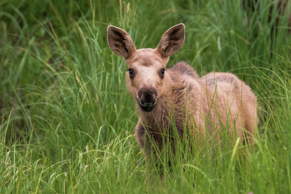 Calf Moose In The Grass Poster