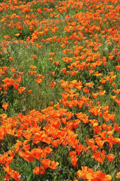 California Poppies- Art By Linda Woods Poster