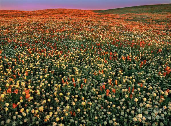 California Poppies At Dawn Lancaster California Poster