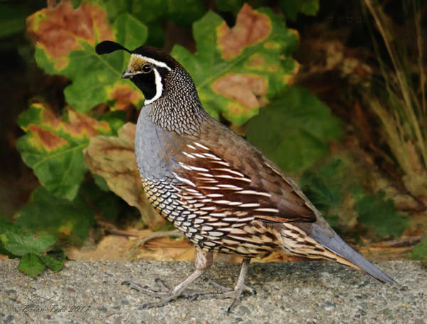 California Quail Rooster Poster