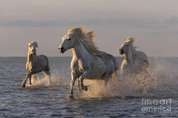 Camargue Horses Run At Sunset Poster