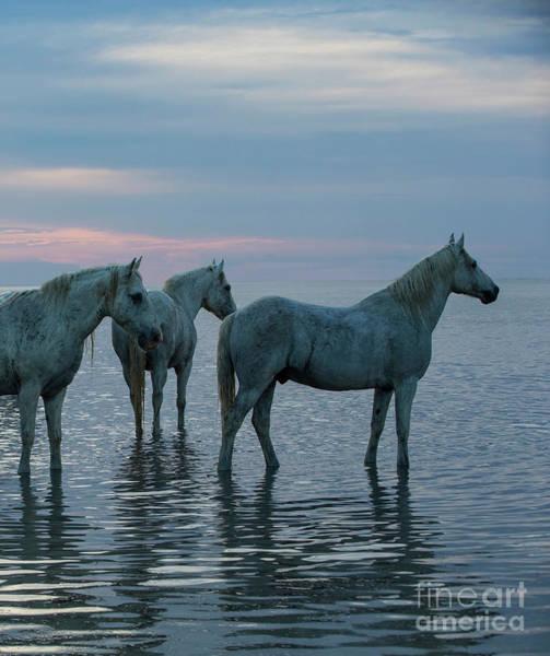 Camargue Horses Waiting At Sunset Poster