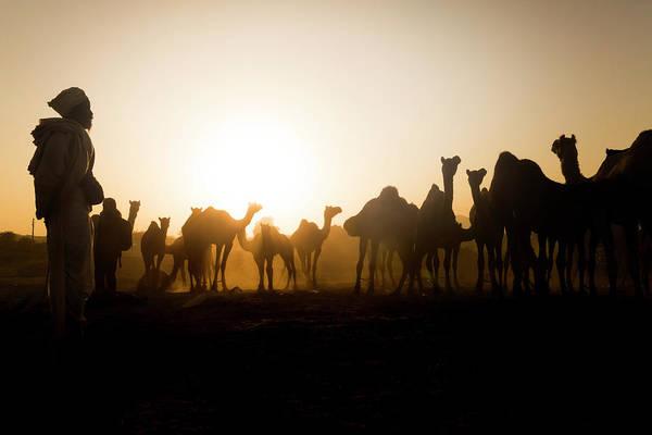 Camels At Pushkar During Sunset Poster