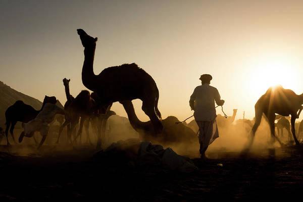 Camels During Sunset At Pushkar Poster