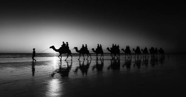 Camels On The Beach Poster